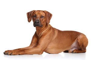 A gorgeous Rhodesian Ridgeback lying very neatly, paws together