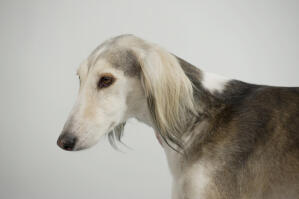 A close up of a Saluki's incredibly soft, light coat