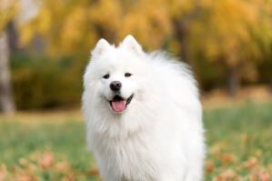 A Samoyed's wonderful, pointed ears