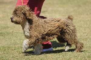A beautiful show Spanish Water Dog with a short bushy tail