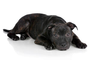 A mature Staffordshire Bull Terrier with a lovely thick black and brown coat
