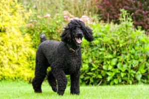 A Standard Poodle slowly trotting towards it's owner