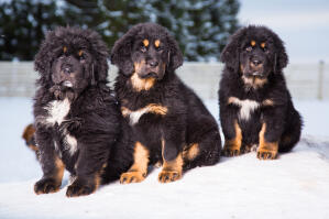 Three lovely, young Tibetan Mastiffs sitting together in the snow