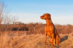 A beautiful, red Vizsla sitting very tall, waiting for a command
