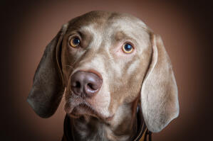 A close up of a Weimaraner's lovely, short, soft coat