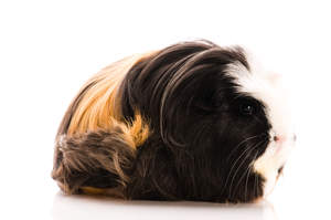 A Coronet Guinea Pig's wonferful long black white and ginger fur