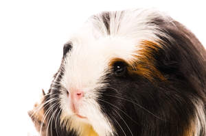 A close up of a Coronet Guinea Pig's beautiful dark eyes