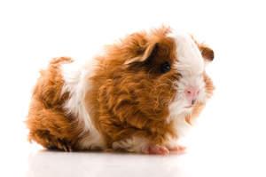 A Texel Guinea Pig with wonderful long wavey fur