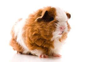 A close up of a Texel Guinea Pig's lovely pink nose