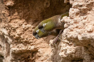 Two Burrowing Parakeet perching on the edge of a cliff