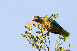An incredible collection of colours on a beautiful Cuban Amazon