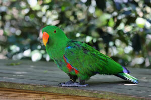 A Eclectus Parrot showing off it's wonderful, green and purple tail feathers