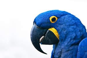 A Hyacinth Macaw's wonderful, black beak