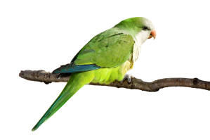 A Monk Parakeet with beautiful green tail feathers