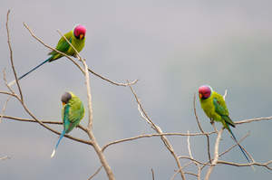 Three Plum Headed Parakeets perched in a tree