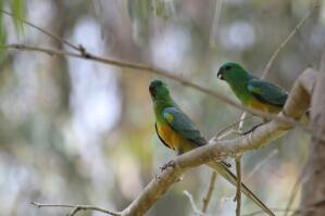 A Red Rumped Parrot's wonderful, yellow and green feathers