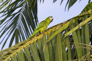 A Red Shouldered Macaw's lovely green feathers and white face