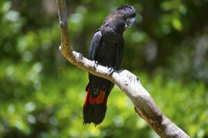 A Red Tailed Black Cockatoo's big, black beak