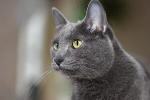 An alert Korat cat with big ears