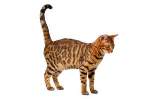 A beautfiul brown rosetted bengal