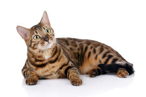 A gorgeous bengal with leopard like markings