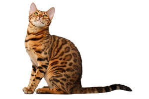 A well muscled bengal cat with a rosetted coat