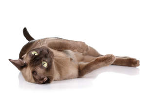 A chocolate burmese cat rolling over