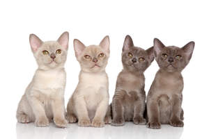 A group of gorgeous burmese kittens