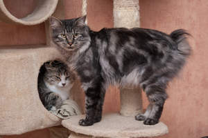 A marbled tabby kurillian bobtail with a feathery coat