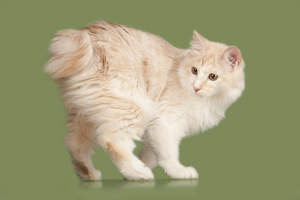 an orange and cream kurillian bobtail with a feathered coat