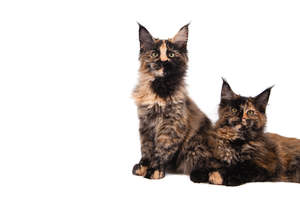 Two young Maine coon cats