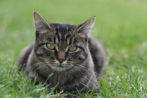 A tabby manx cat lying in the grass