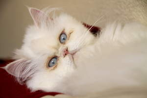 A beautfiul cameo cat with blue eyes