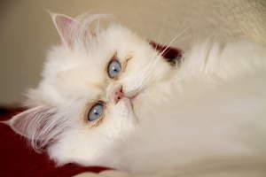 A beautfiul cameo cat with blue eyes