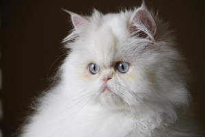 A creamy white cameo cat with a fluffy coat