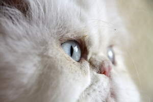 A lovely cameo cat with blue eyes and a pink button nose