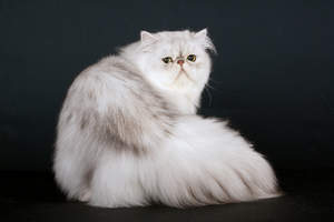A Shaded silver Persian with its unique squashed face