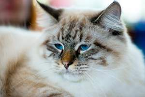 A pretty Ragamuffin cat with lovely blue eyes