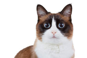 A beautiful Snowshoe cat with big bright eyes