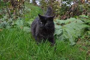A black Tiffanie cat patrolling the garden