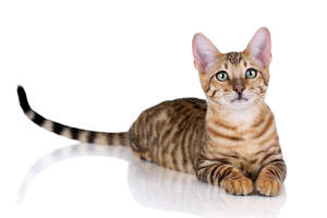 A Toyger cat lying with itslong banded tail