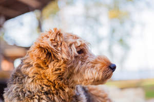 An Airedale Terrier's beautiful thick, red coat