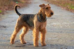 An Airedale Terrier standing tall, awaiting a command from it's owner