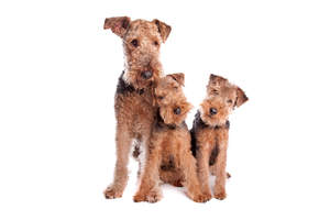 Three young Airedale Terriers enjoying each others' company