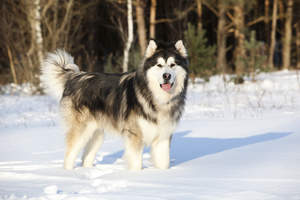 A young and healthy Alaskan Malamute, well prepared for the snow
