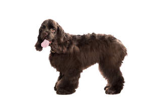 a lovely chocolate brown american cocker spaniel with amber eyes