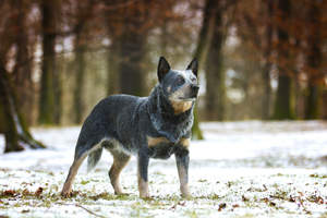 A beautiful Australian Cattle Dog, standing tall with it's ears perked