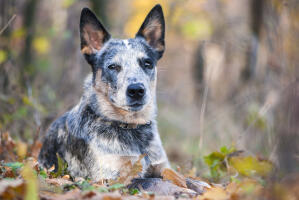 A close up of a Australian Cattle Dog's beautiful sharp ears