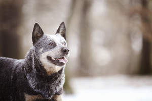 An adult Australian Cattle Dog with a lovely, thick, wiry coat