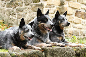 Three Australian Cattle Dogs lying neatly next to each other